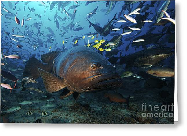 Undersea Photography Greeting Cards - A School Of Golden Trevally Follow Greeting Card by Terry Moore
