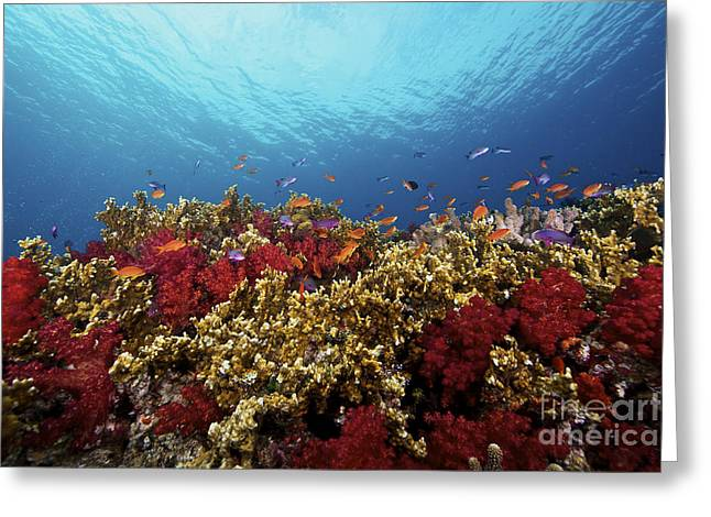Undersea Photography Greeting Cards - A School Of Orange Basslets Greeting Card by Terry Moore