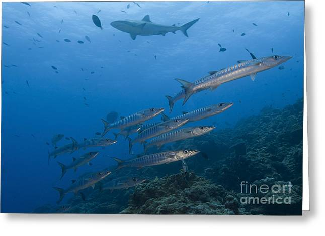 New Britain Greeting Cards - A School Of Pickhandle Barracuda, Papua Greeting Card by Steve Jones