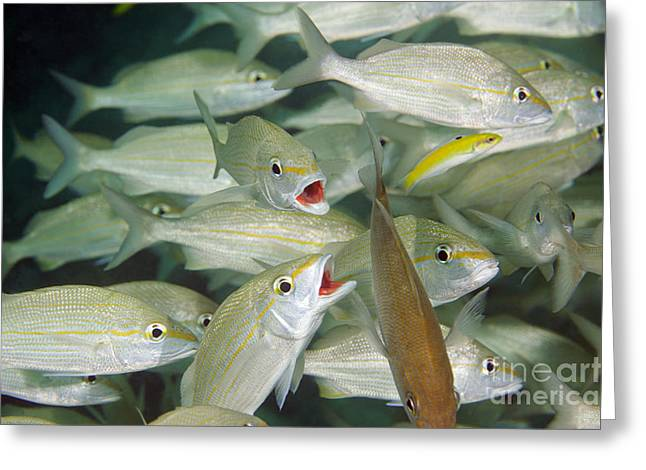 Undersea Photography Greeting Cards - A School Of Smallmouth Grunts, Key Greeting Card by Terry Moore