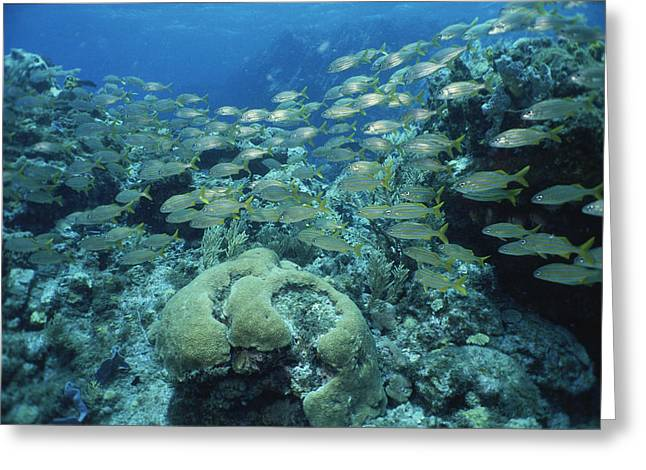 Grunts Photographs Greeting Cards - A School Of Smallmouth Grunts Swimming Greeting Card by Tim Laman