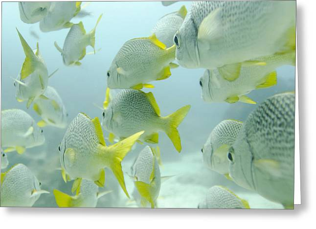 Grunts Photographs Greeting Cards - A School Of Yellow-tailed Grunt Fish Greeting Card by Keith Levit