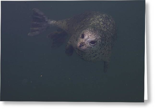 Deep Bay British Columbia Greeting Cards - A Seal Looks Up Out Of The Water Greeting Card by Taylor S. Kennedy