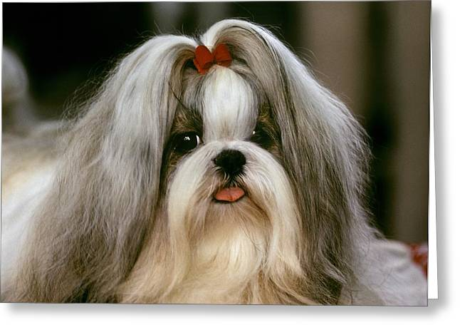 By Humans Greeting Cards - A Shih Tzu Poses At A Dog Show Greeting Card by Rex A. Stucky