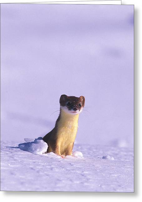 Nunavut Greeting Cards - A Short-tailed Weasel Looks Greeting Card by Nick Norman