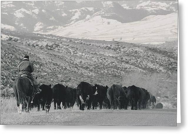 North Fork Greeting Cards - A Shot Of Ranchers Pushing Cattle Greeting Card by Bobby Model