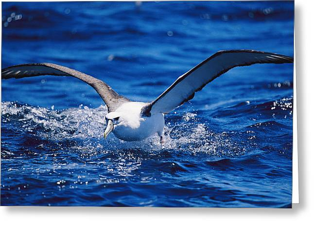 Flying Animal Greeting Cards - A Shy Albatross Running On Water Greeting Card by Jason Edwards