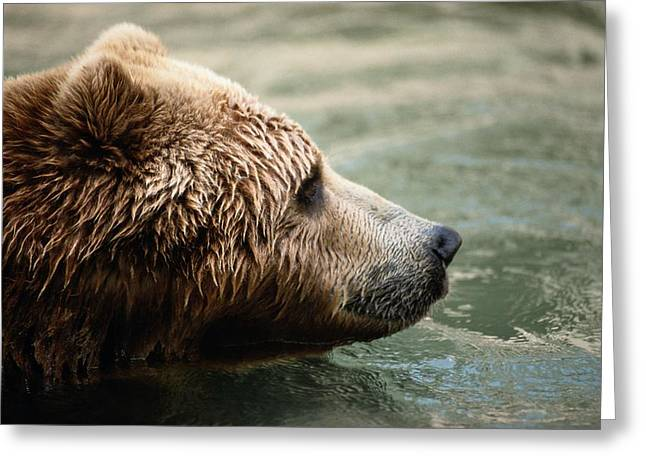 A Side-view Of A Captive Kodiak Bear Greeting Card by Tim Laman