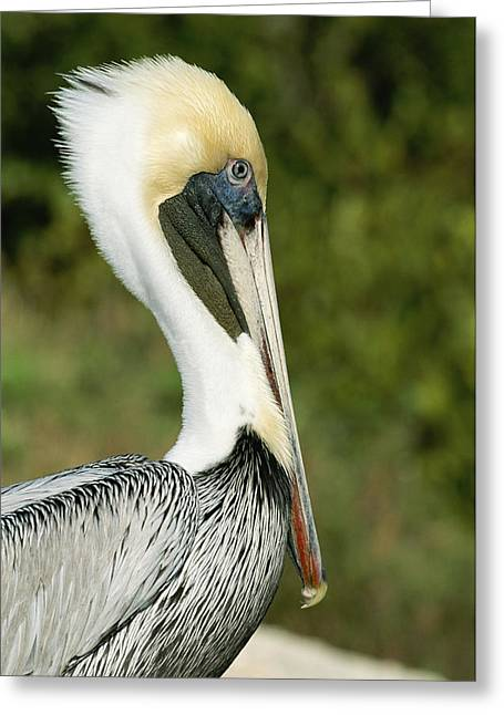 J N Ding Darling National Wildlife Refuge Greeting Cards - A Side View Of A Pelican Greeting Card by Norbert Rosing