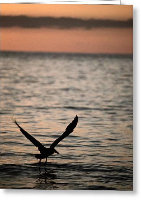 Costa Greeting Cards - A Silhouetted Brown Pelican Pelecanus Greeting Card by Tim Laman