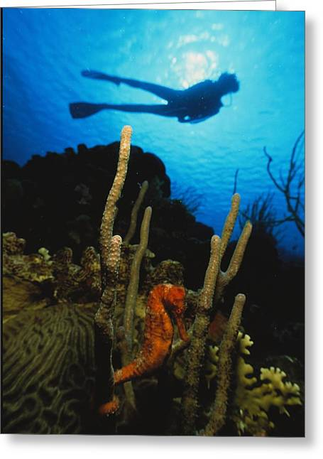Sea Horse Greeting Cards - A Silhouetted Diver Swims Greeting Card by George Grall