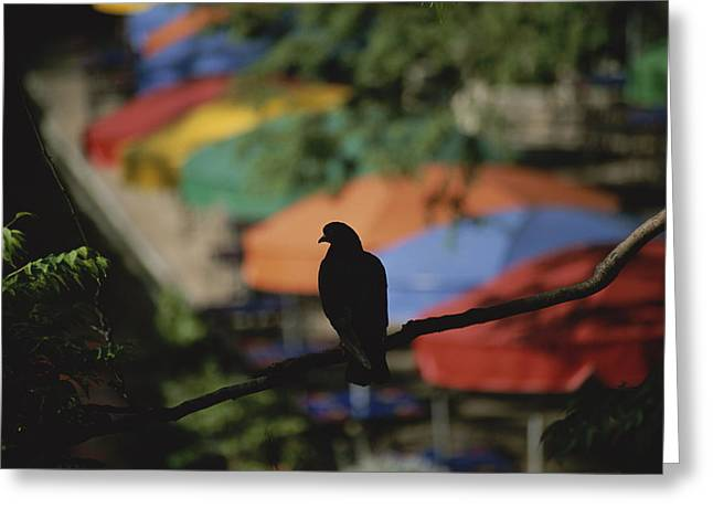 Del Rio Texas Greeting Cards - A Silhouetted Pigeon Surveys Greeting Card by Stephen St. John