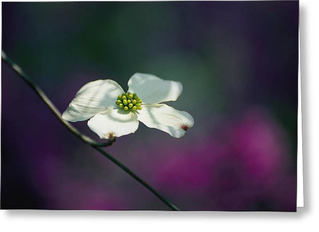 Eastern Shore Greeting Cards - A Single Dogwood Blossom Opens Greeting Card by Stephen St. John