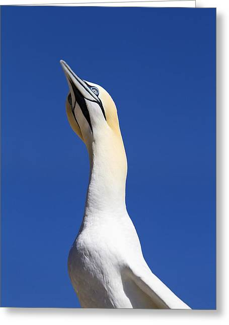 Looking In Greeting Cards - A Single Gannet Searches The Sky For Greeting Card by Richard Wear