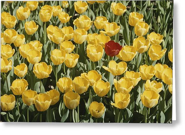 A Single Red Tulip Among Yellow Tulips Greeting Card by Ted Spiegel