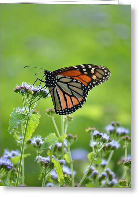 Lepidopterist Greeting Cards - A Sip of Mist Greeting Card by JD Grimes