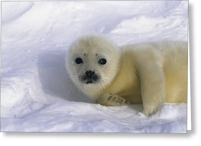 Roost Photographs Greeting Cards - A Sleepy-eyed Harp Seal Pup Greeting Card by Norbert Rosing