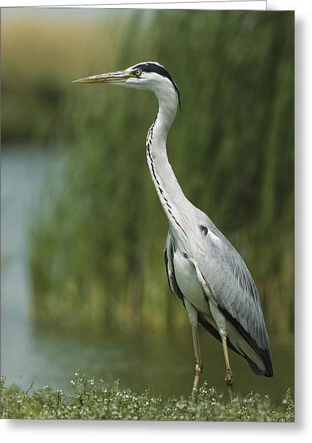 Ardea Greeting Cards - A Slender Gray Heron Standing Greeting Card by Klaus Nigge
