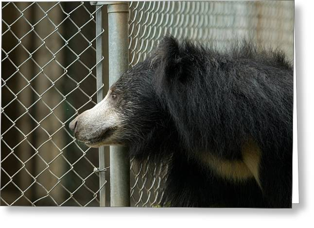 A Sloth Bear Melursus Ursinusat Greeting Card by Joel Sartore