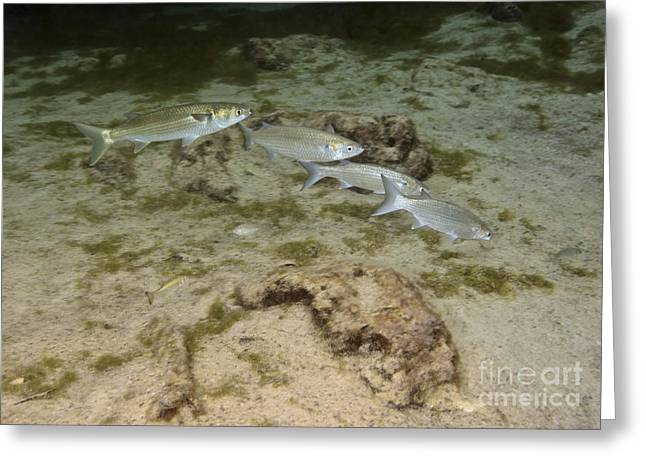 Mullet Greeting Cards - A Small School Of Grey Mullet Swim Greeting Card by Terry Moore