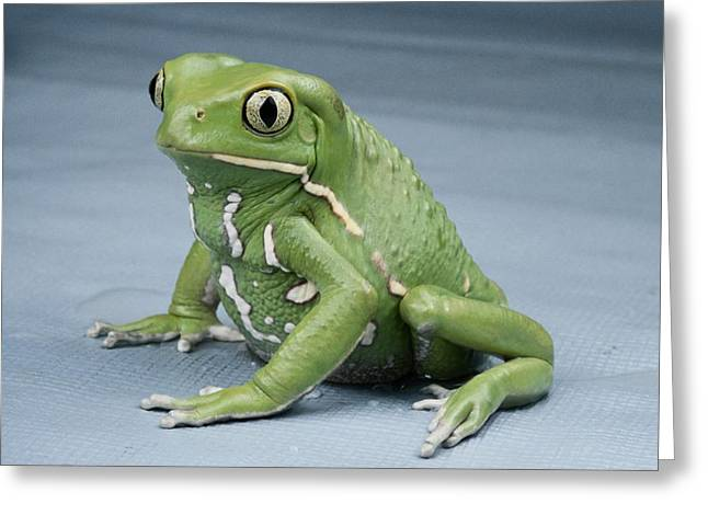 Tree Frog Greeting Cards - A Small Tree Frog, Pycomeosa Savagii Greeting Card by George Grall