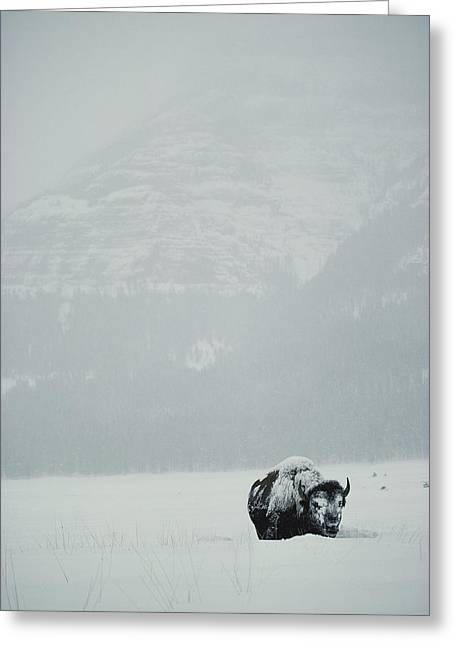 A Snow-covered American Bison Stands Greeting Card by Michael S. Quinton