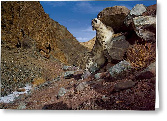 Remote Cameras Greeting Cards - A Snow Leopard Marks Its Trail Greeting Card by Steve Winter