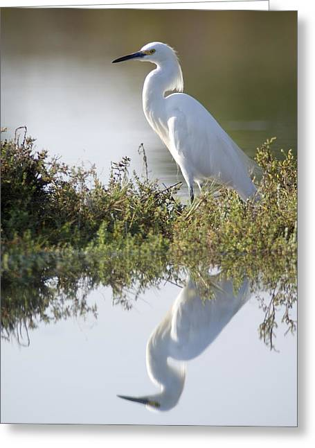 Egretta Thula Greeting Cards - A Snowy Egret Egretta Thula In The Los Greeting Card by Rich Reid