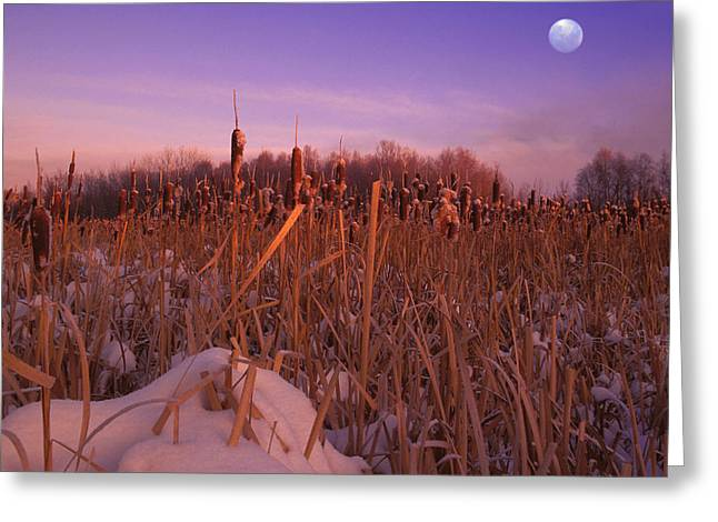 Bulrushes Greeting Cards - A Snowy Field Greeting Card by Carson Ganci