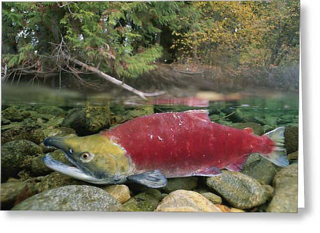 Aquatic Split Level Views Greeting Cards - A Sockeye Salmon Spawns In The Shallow Greeting Card by Paul Nicklen