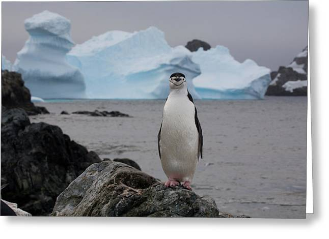 A Solitary Chinstrap Penguin Stands Greeting Card by Paul Nicklen