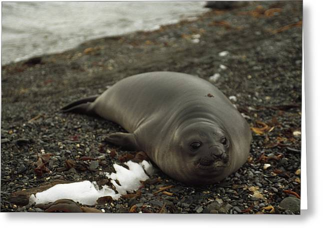 Elephant Seals Greeting Cards - A Southern Elephant Seal Basks Greeting Card by Gordon Wiltsie