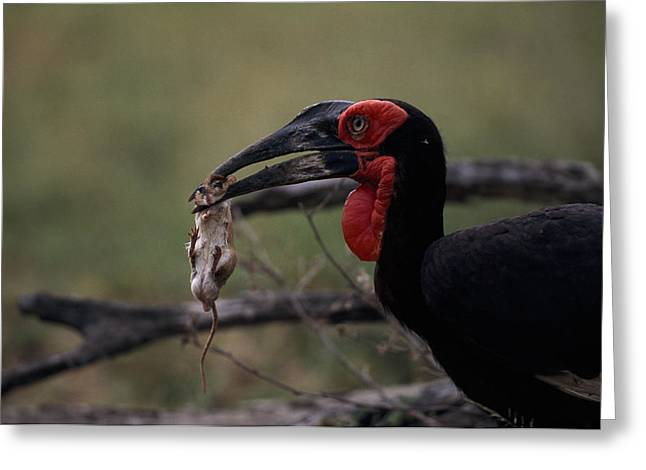 A Southern Ground Hornbill Prepares Greeting Card by Tim Laman