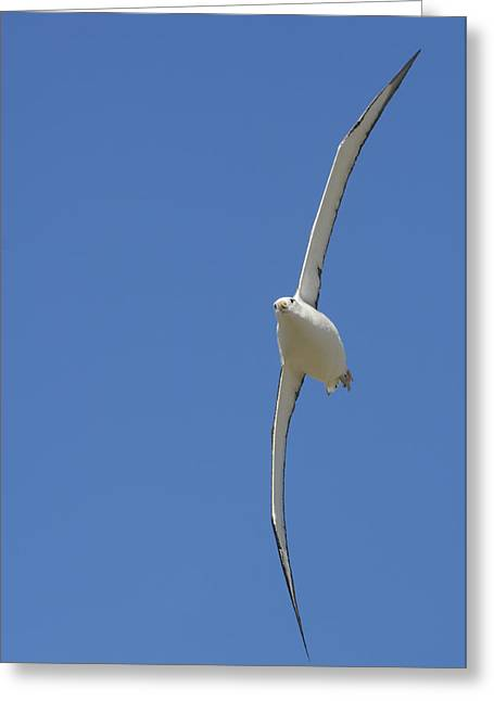 Flying Animal Greeting Cards - A Southern Royal Albatross Soars Greeting Card by Frans Lanting