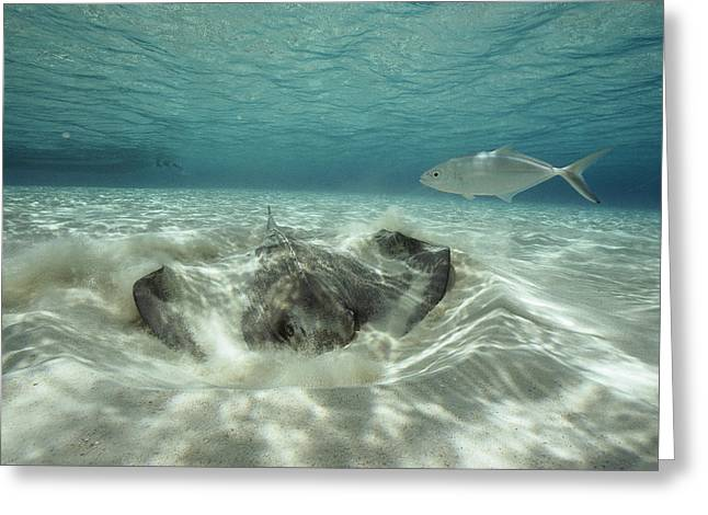 Southern Stingrays Greeting Cards - A Southern Sting Ray Burrowing Greeting Card by Bill Curtsinger
