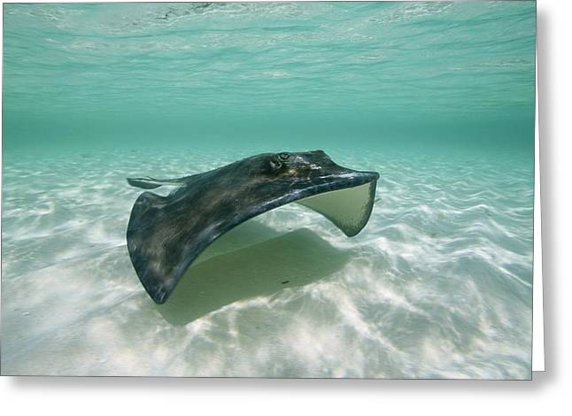 Southern Stingrays Greeting Cards - A Southern Stingray Of Grand Turk Greeting Card by Wolcott Henry