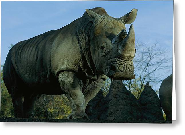 Pittsburgh Zoo Greeting Cards - A Southern White Rhinocerus Greeting Card by Michael Nichols