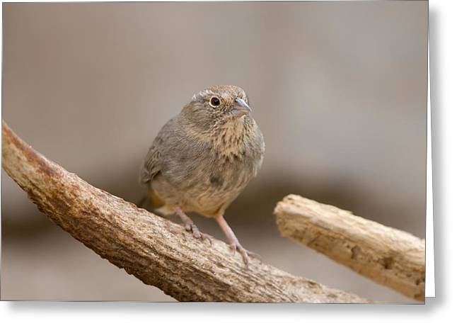 Desert Dome Greeting Cards - A Speckled Mousebird Colius Striatus Greeting Card by Joel Sartore