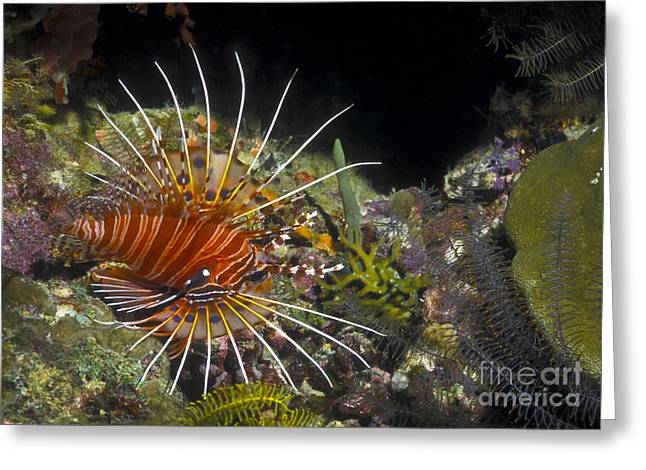Flaring Greeting Cards - A Spotfin Lionfish Flares Its Dorsel Greeting Card by Michael Wood