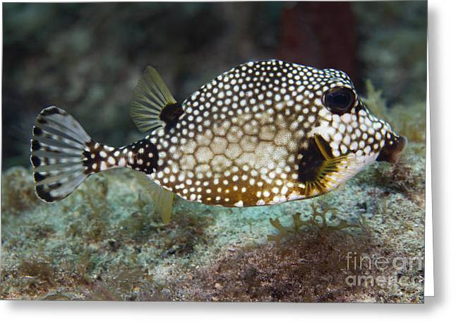 Undersea Photography Greeting Cards - A Spotted Trunkfish, Key Largo, Florida Greeting Card by Terry Moore