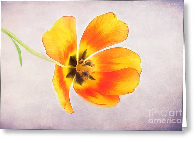 Fresh Green Greeting Cards - A Spring Tulip Greeting Card by Darren Fisher