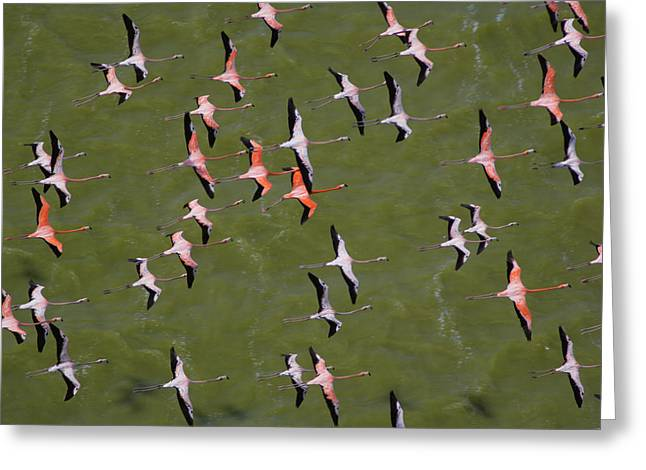 Flying Animal Greeting Cards - A Squadron Of Flamingos In Close Greeting Card by Bobby Haas