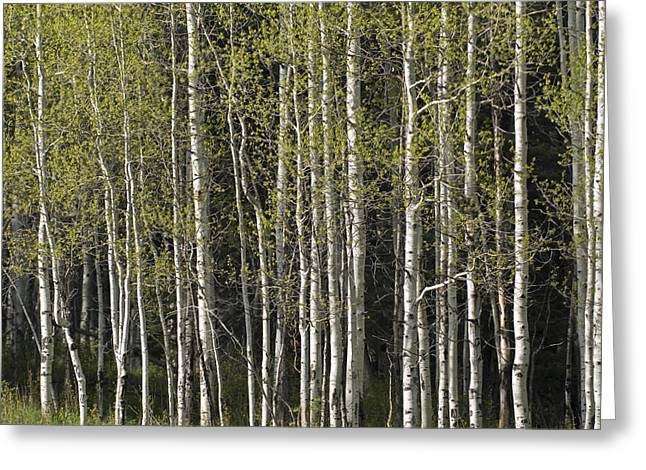 Wolf Creek Greeting Cards - A Stand Of Aspen Trees At Wolf Creek Greeting Card by Rich Reid