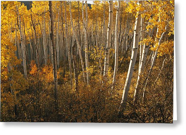 Woodland Scenes Greeting Cards - A Stand Of Aspen Trees Displaying Greeting Card by Melissa Farlow