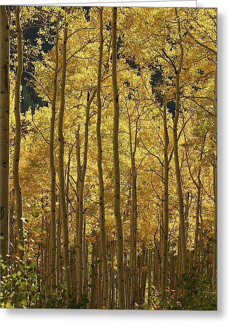 Color Change Greeting Cards - A Stand Of Autumn Colored Aspen Trees Greeting Card by Charles Kogod