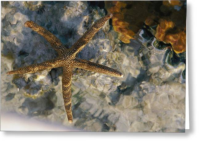 Great Barrier Reef Greeting Cards - A Starfish In A Tide Pool On Australias Greeting Card by Nicole Duplaix