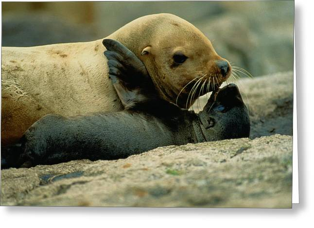 Sea Lions Greeting Cards - A Steller Sea Lion Cow Eumetopias Greeting Card by Joel Sartore