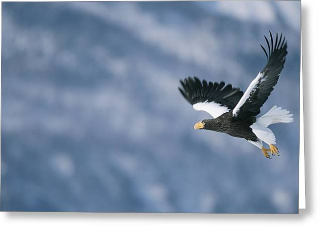 Animals In Action Greeting Cards - A Stellers Sea Eagle In Flight Greeting Card by Roy Toft