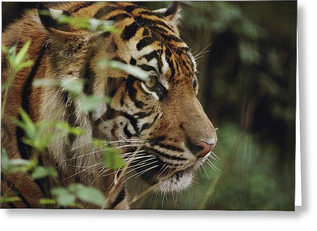 Audubon Zoo Greeting Cards - A Sumatran Tiger In The Asian Domain Greeting Card by Michael Nichols