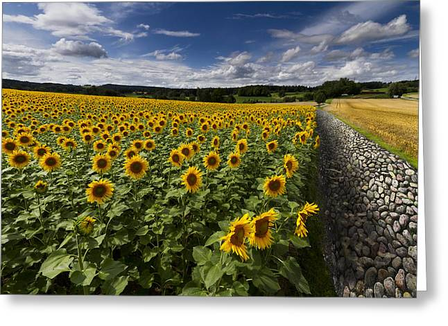 Swiss Photographs Greeting Cards - A Sunny Sunflower Day Greeting Card by Debra and Dave Vanderlaan